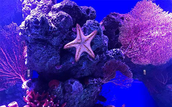 purple starfish underwater