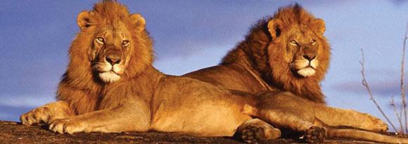 Majestic Lions lying on a rock