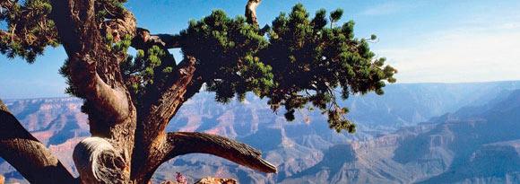 Twisted tree atop the Grand Canyon, Arizona