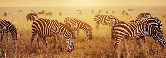 Zebra herd on the African Savanna at sunset